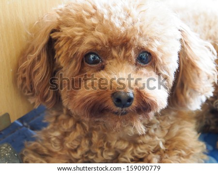 poodle - stock photo
