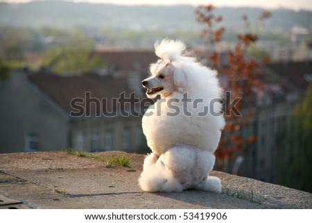Poodle and the city - stock photo