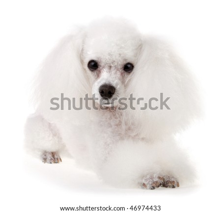 Poodle Dog - stock photo