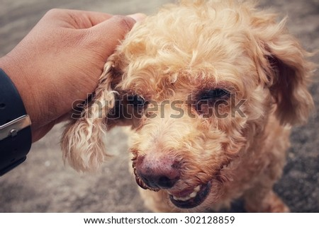 Poodle dog with hand