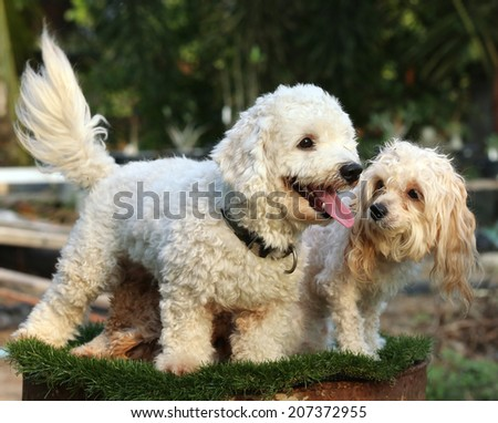 Poodle dogs on nature background