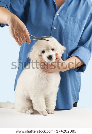 Poodle grooming at the salon for dogs - stock photo