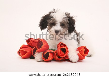 poodle in studio /poodle white flowers /puppy/white black ground/ two tone dog/ black and white dog/dog with tulips/dog with red flowers/cuddle dog/ puppy with fussy hair/ - stock photo