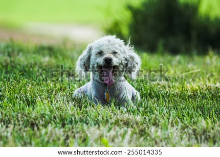 Poodle on green background - stock photo