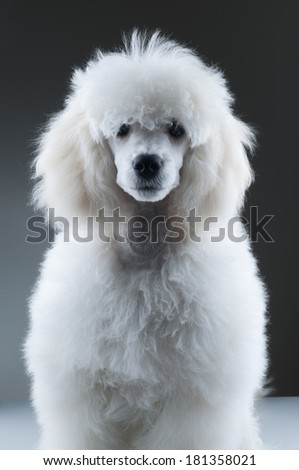 Poodle portrait - stock photo