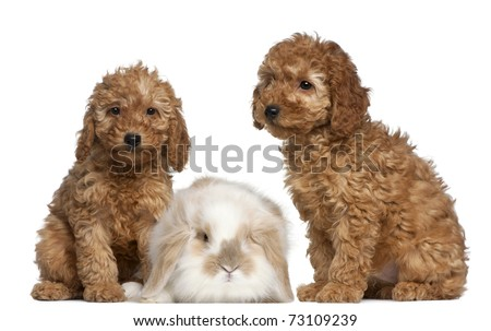 Related Pictures toy poodle haircut styles