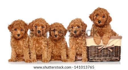 Poodle puppies with wicker basket on a white background - stock photo