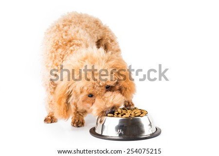 Poodle puppy eating kibbles from a bowl in white background