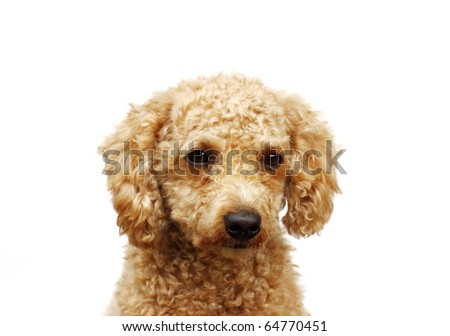 Poodle puppy isolated on white - stock photo