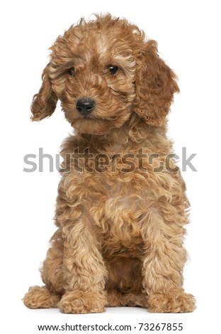 Poodle puppy, 2 months old, sitting in front of white background - stock photo