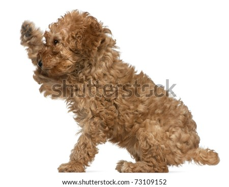 Poodle puppy, 2 months old, with paw up sitting in front of white background - stock photo