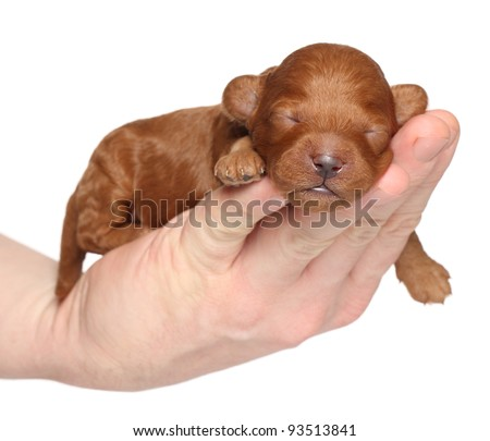 Poodle puppy (one week) sleep in hand. Closeup portrait series over white background - stock photo