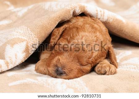 Poodle puppy (second week) sleep in blanket. Closeup portrait series - stock photo