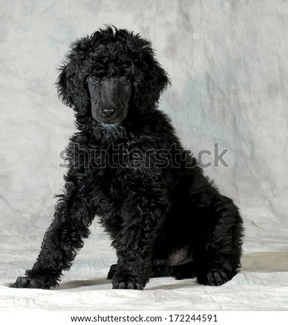 poodle puppy sitting looking at viewer on green background - 8 weeks old - stock photo