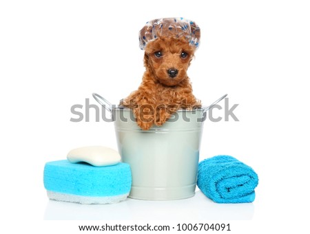Poodle puppy with bathing cap sits in the bucket on white background
