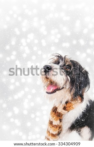 Poodle-terrier mix dog wearing a shawl in the snow - stock photo