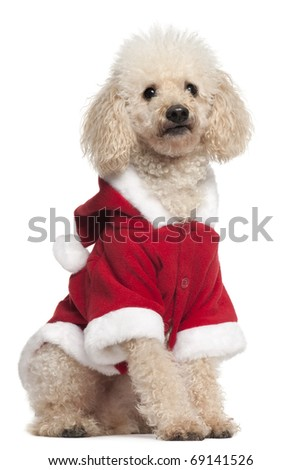 Poodle wearing Santa outfit, 8 years old, sitting in front of white background - stock photo
