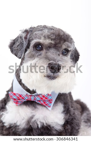 poodle with red tie,act art dog , drees up dog,terrier dog with collar