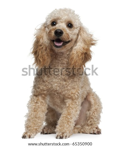 Poodle, 9 years old, sitting in front of white background - stock photo