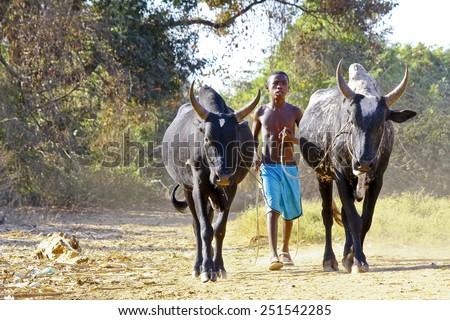 Poor malagasy boy leading angry bulls - zebu, madagascar - stock photo
