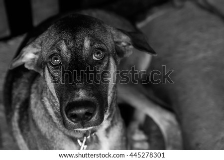 Poor Stray dog are captured - Black and White - stock photo