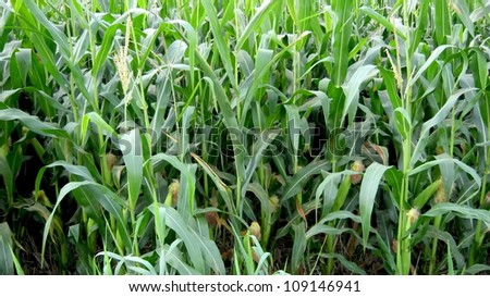 pop corn plant - stock photo
