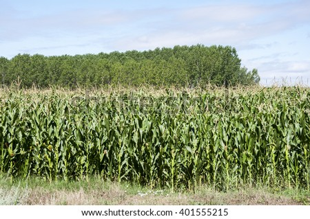 Poplar groves and cornfields in the plain of the River Esla, in Leon Province, Spain - stock photo