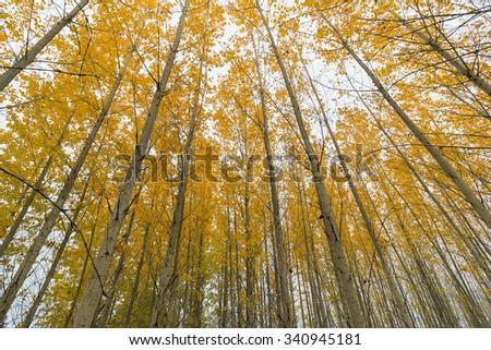 Poplar Tree Grove Canopy in Oregon during Fall - stock photo