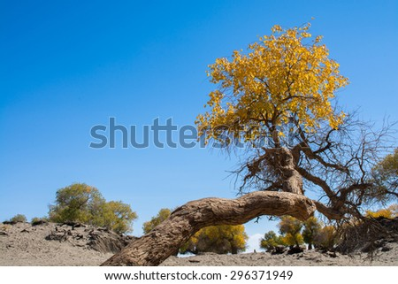 Poplar trees in autumn season with yellow leaves and clear sky,�  Ejina, Inner Mongolia, China