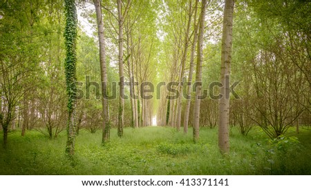 poplar trees plain forest trees cultivation for paper pulp Italy - stock photo