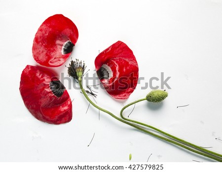 poppie, bud, petal - stock photo