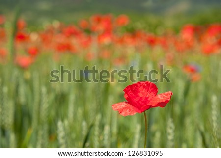 poppie in the field - stock photo