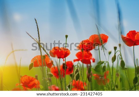 Poppies. - stock photo