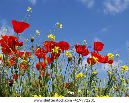 poppies and blue spring sky