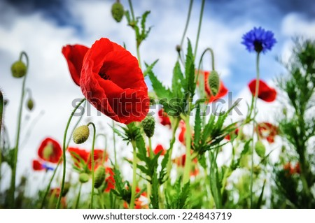 Poppies and cornflowers at summer field - stock photo