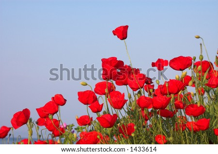 Poppies and the sea