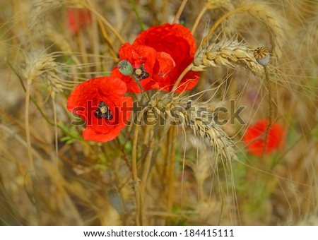 poppies and wheat - spring summer background - stock photo
