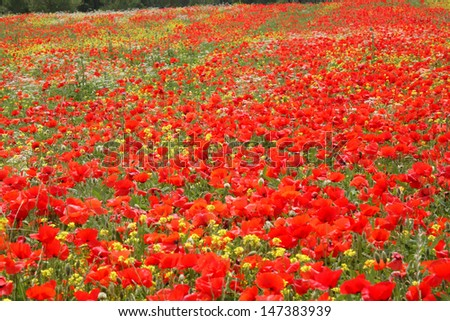 poppies blooming hills of Siena - stock photo