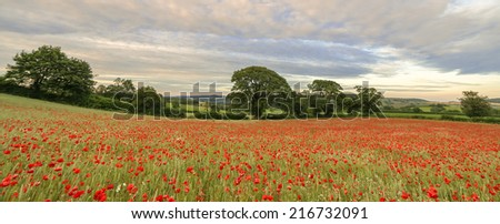 Poppies cascading down a Devonshire hillside. What a sight! - stock photo