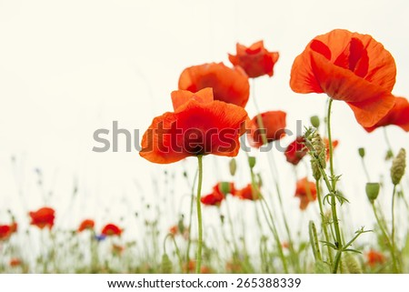poppies field - stock photo