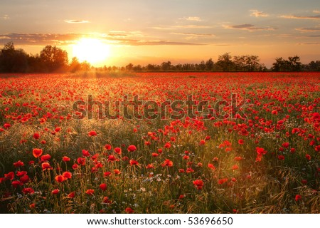 Poppies field at sunset - stock photo