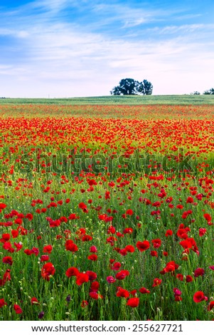 Poppies field at sunset in summer, in Hungary - stock photo