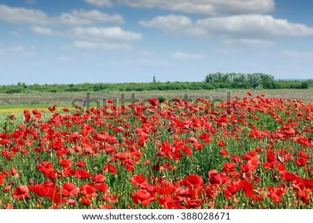 Poppies flower meadow landscape spring season - stock photo
