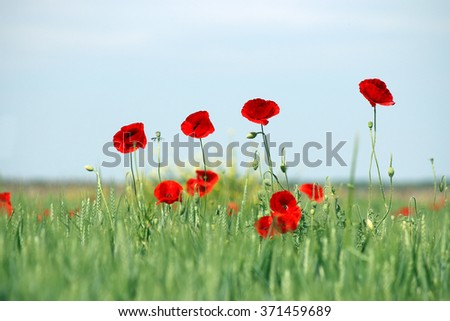 poppies flower on field spring season