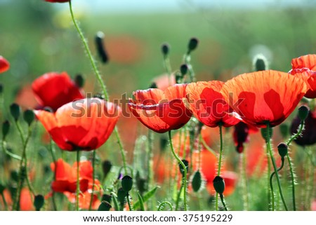 Poppies flowers morning spring season - stock photo