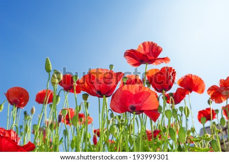 Poppies flowers on summer field - stock photo