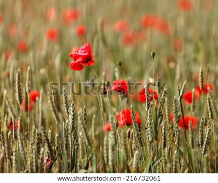 Poppies in a Devonshire field. - stock photo