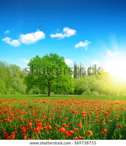 Poppies in a field in spring landscape. - stock photo