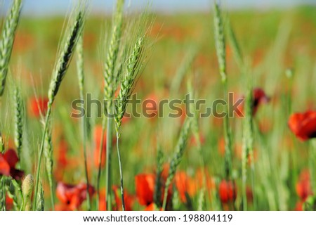 Poppies in a green wheat field. Summer meadow - stock photo