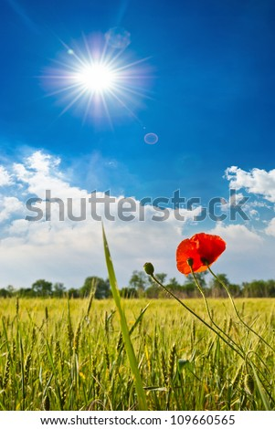 Poppies in a wheat field - stock photo